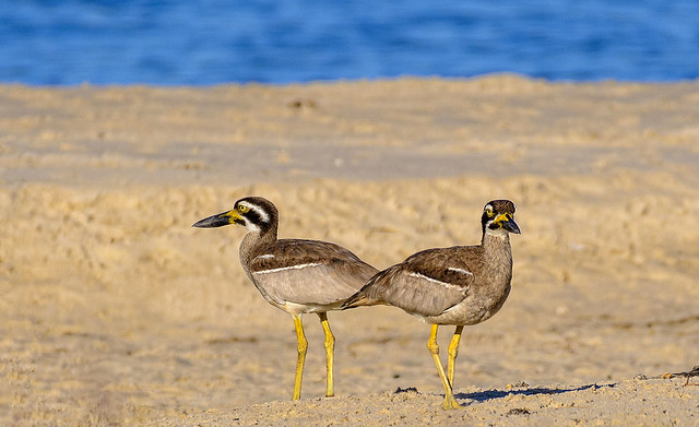 back-to-back they faced each other - banksia beach - beach stone curlews
