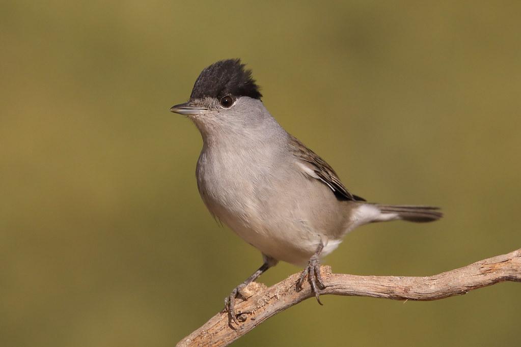 Eurasian Blackcap Sylvia atricapilla