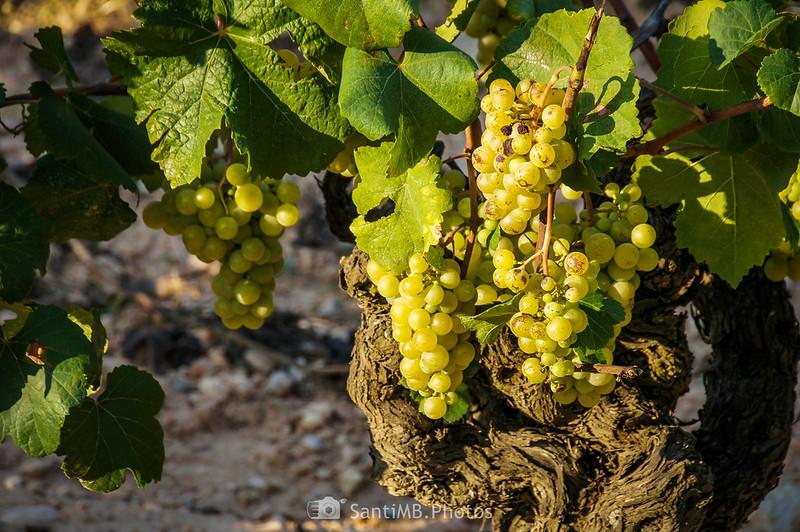 Uva madurando cerca del Fondo de la Senabre en La Ràpita