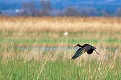 Ibis falcinelle... Falcinella Ibis... #darktable #DigiKam #NikonD7000