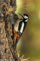 Great Spotted Woodpecker - Tenerife - Canary Islands CD5A5326