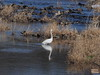 Photo:Great egret (Ardea alba, ダイサギ) By Greg Peterson in Japan