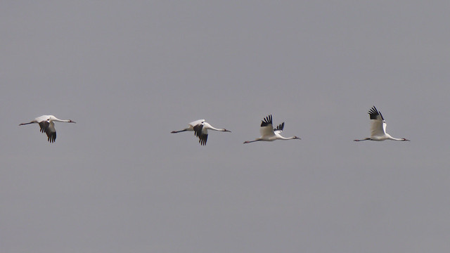 Whooping Cranes - 8 - 4