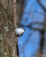 White-breasted Nuthatch (Sitta carolinensis) (DSB0333)