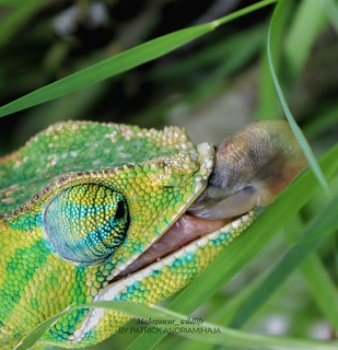 Two-banded chameleon (Furcifer balteatus) - IMG_2952-01-02