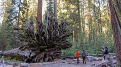 Yosemite National Park:  Fallen Monarch in Mariposa Grove