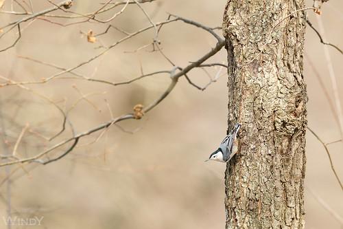 Nuthatch on the Oak Tree