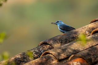 Blue Rock Thrushes