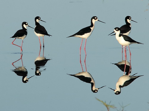 Black-necked Stilts 006-20190401