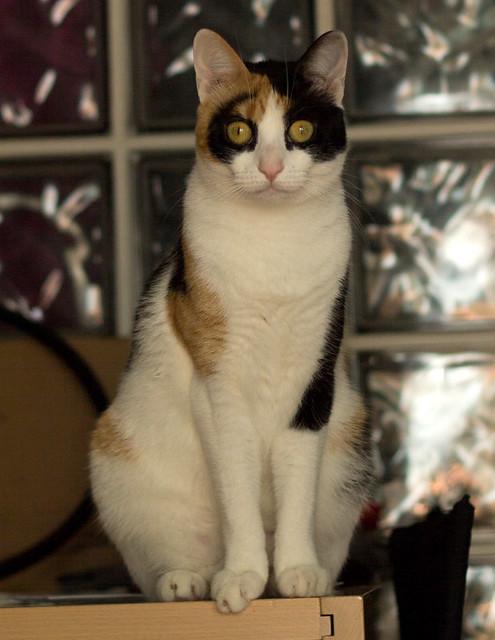 Ishtar, gatita tricolor Calicó súper cariñosa y juguetona esterilizada, nacida en Julio´17, en adopción. Valencia. 32936255508_1764f122f6_z