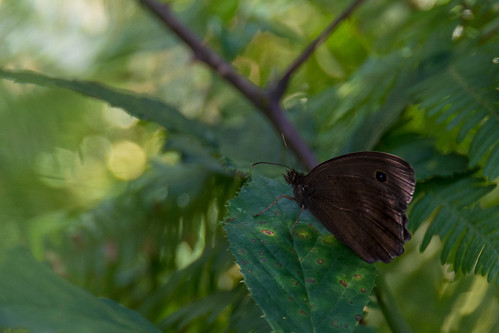 Dryad - Minois dryas - Blauwoogvlinder