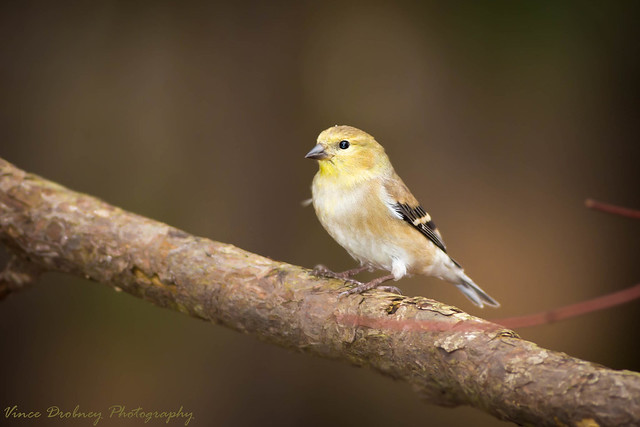 Gold Finch-3954, Canon EOS 5D MARK III, Canon EF 400mm f/5.6L