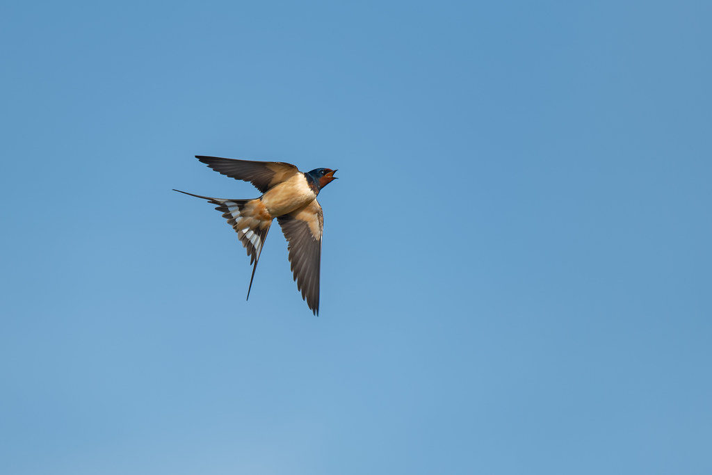 Barn Swallow Showing It's White Tail Windows