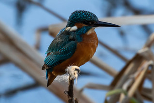 Kingfisher8.jpg