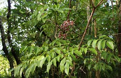 Leea guineensis leaves and fruit