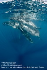 Mom and Calf Humpback Whales