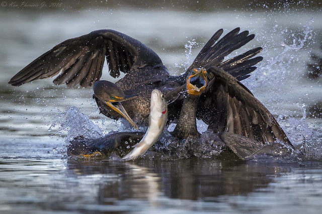Three  Cormorants fighting to catch Trout
