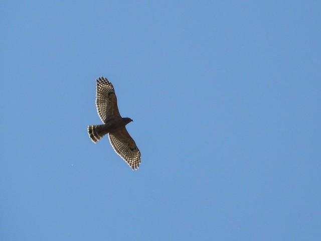 Hawk Riding the Updraft