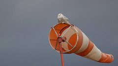 Snowy on a Windsock
