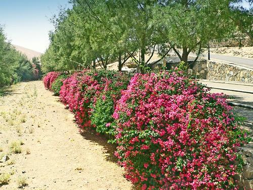 Espagne, l'île de Fuerteventura, un Oued garnie d'une allée de fleurs de bougainvilliers