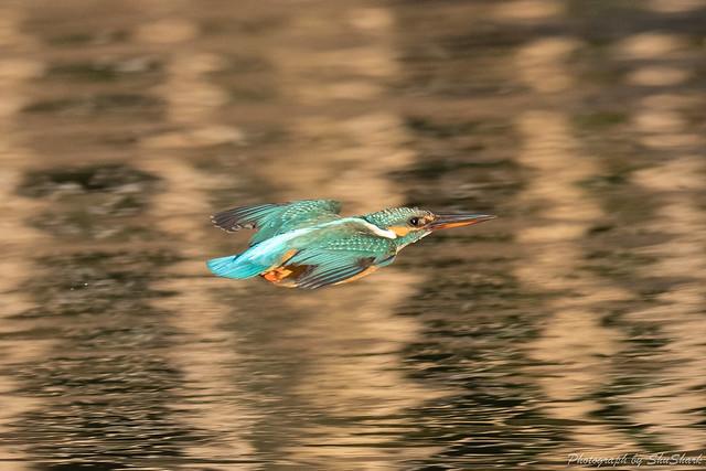 20190223-kingfisher-DSC_1649