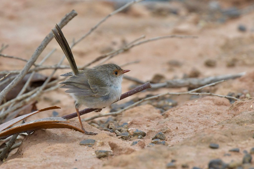 Superb Fairy-wren ( skip and a hop )