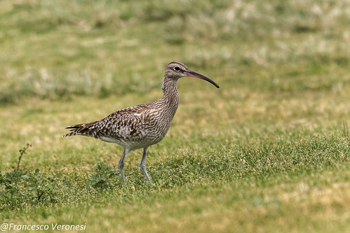 Whimbrel - Tenerife - Canary Islands CD5A6032