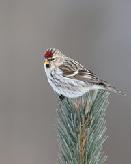 Common Redpoll female