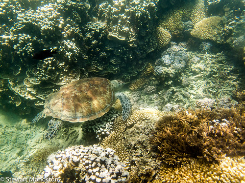 Green Turtle (spp?)