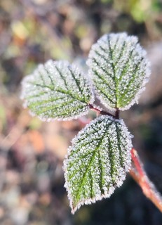 Morning Frost on Blackberry Leaves