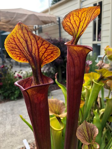 Sarracenia flava var. atropurpurea, Blackwater SF, Florida