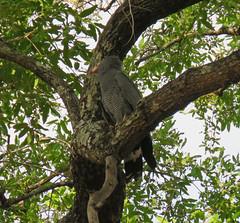 gymnogene7; s luangwa national park