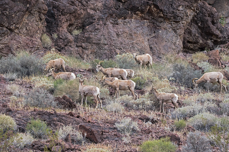 Long--Horn-Sheep-27_7D2_240316