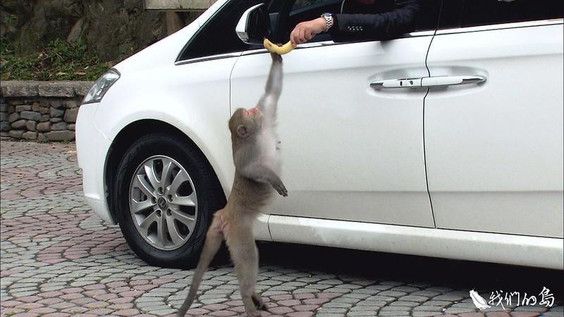 遊客餵食,長久下來,獼猴養成群聚討食的習慣。
