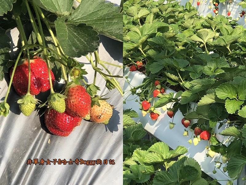 苗栗大湖草莓15