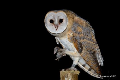 Coruja-das-torres | Barn owl | Tyto alba