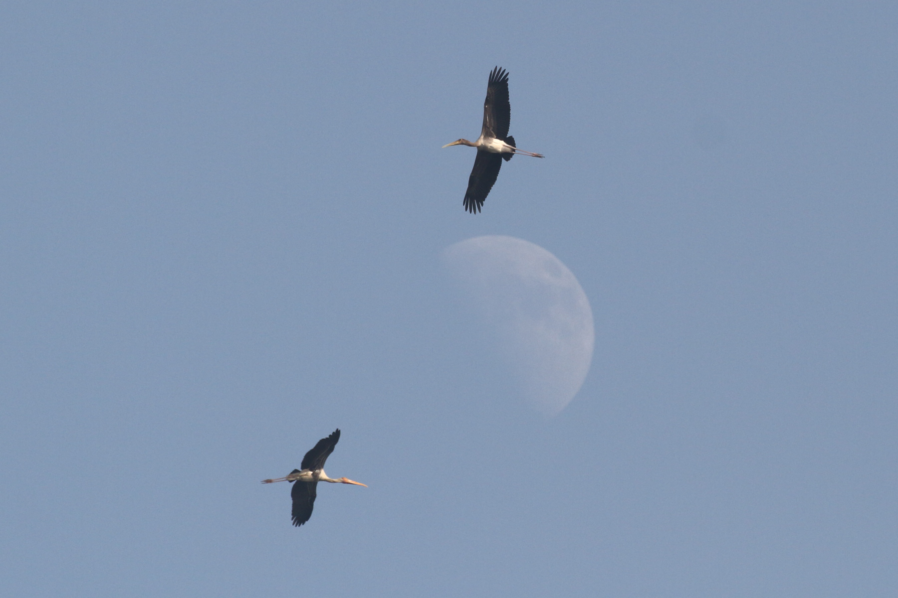 Storks & Moon