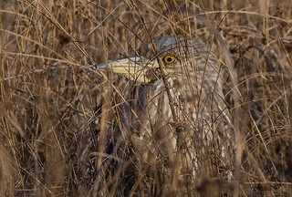 Immature-Black-Crowned-Night-Heron-1384