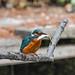 Kingfisher 1903171324.jpg