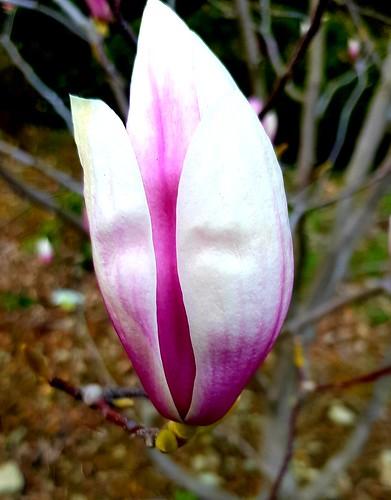 Magnolia si blooming