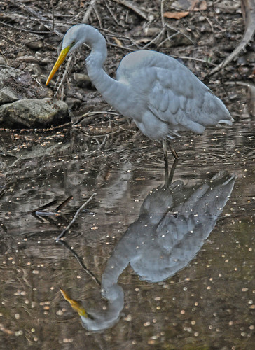 The Hunter Reflects Great Egret Ranthambore National Park DSC_3827