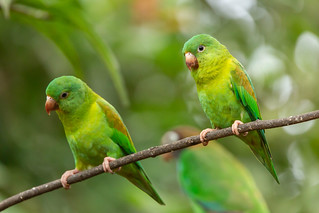 Toviparkieten - Orange-chinned parakeets