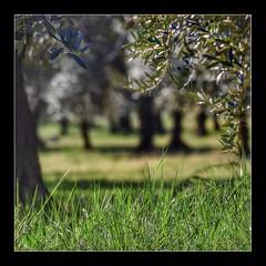 Sous les oliviers