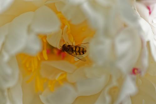 Tu seras ma fleur -  Bee my flower