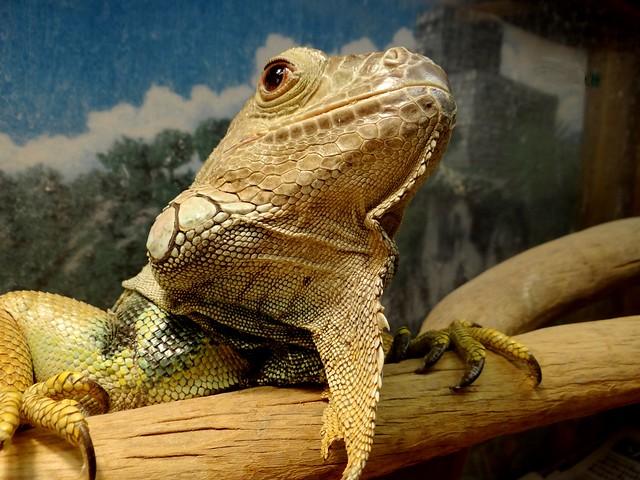 Proud iguana!, Sony DSC-HX200V