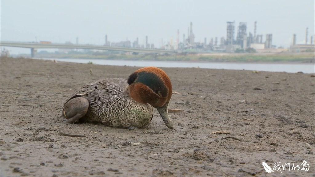 沿途都是雁鴨和野鳥屍體,有些則是身體癱軟在泥灘地上,無力移動。