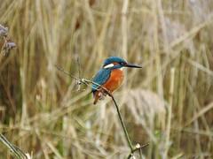 Kingfisher DSCN4113