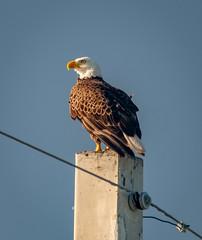 Bald Eagle at Merritt Island National Wildlife Preserve