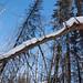 Lois-hole-white-spruce-29.jpg