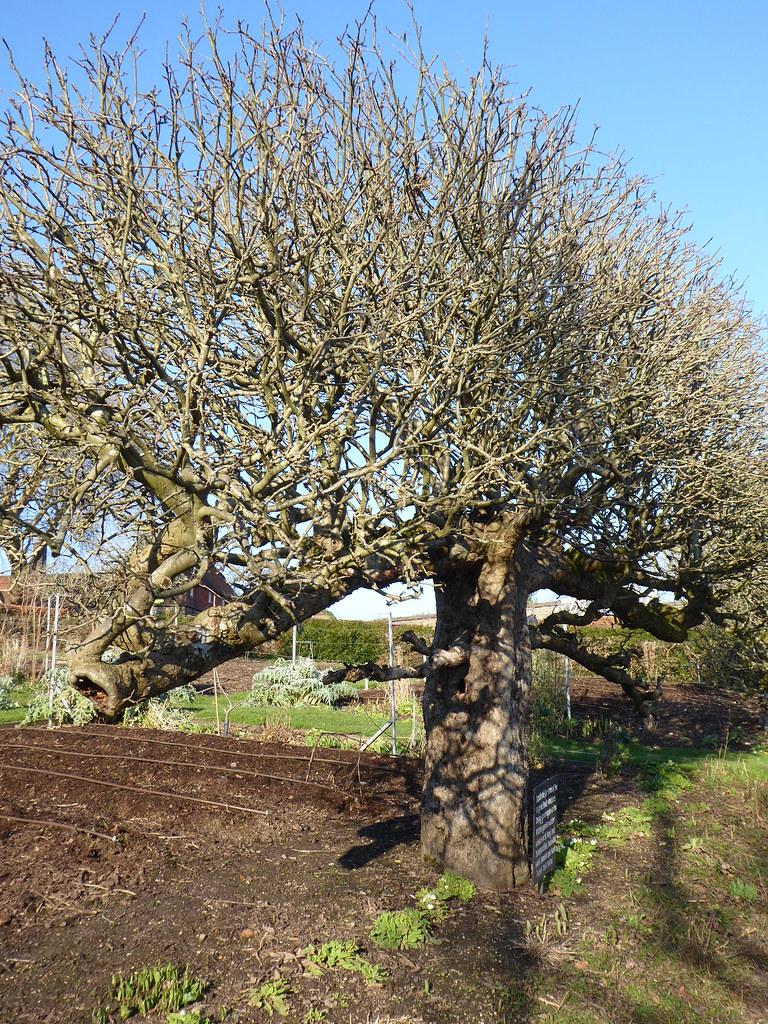 Apple Tree Kitchen Garden Standen House West Sussex National